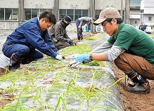 タマネギの苗を植える農業法人「春一番」の社員ら=鹿児島県日置市