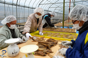 干し芋の出荷がピーク。袋詰めする白州鳥原平組合のメンバーたち=北杜市白州町鳥原