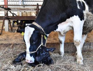 生まれたばかりの子牛をなめる母牛=24日午前9時46分、福島県楢葉町、諫山卓弥撮影