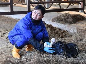 生まれたばかりの牛の世話をする蛭田博章さん=24日午前9時44分、福島県楢葉町、諫山卓弥撮影