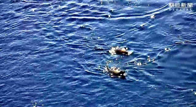 泳ぐアデレーペンギン