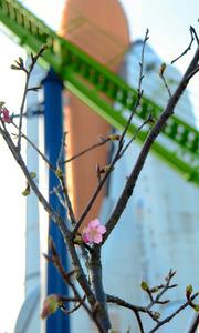 スペースワールドで咲いた河津桜=北九州市八幡東区