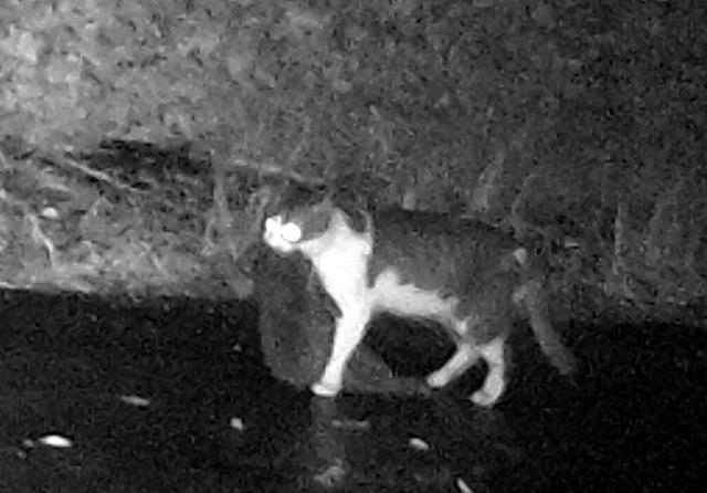 アマミノクロウサギをくわえたネコ=鹿児島県徳之島町手々、1月18日午後8時28分、環境省提供