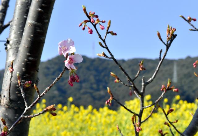菜の花を背景に咲き始めた河津桜=延岡市野地町5丁目の五ケ瀬川堤防