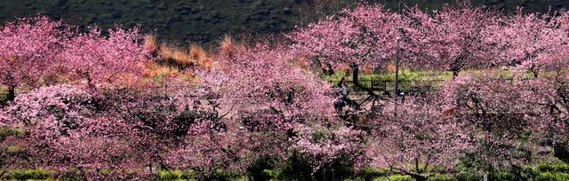 見頃を迎えた河津桜=10日午後、静岡県河津町、朝日新聞社ヘリから、西畑志朗撮影