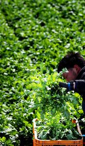 緑一面の畑から収穫される春菊。そのまま生で食べてもおいしい=大阪府貝塚市