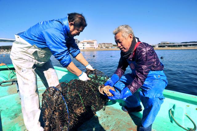 養殖かごからホタテを取り出す宍倉昇さん=横浜市金沢区沖の東京湾