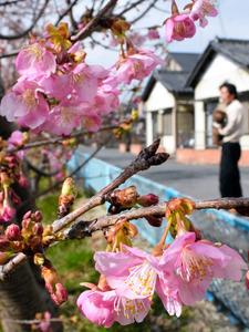 青毛堀川沿いで咲き始めた河津桜=久喜市鷲宮