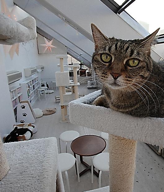 「東京キャットガーディアン」のカフェスペースでは、保護猫たちが自由にくつろいでいる=17日午後、東京都豊島区、竹谷俊之撮影