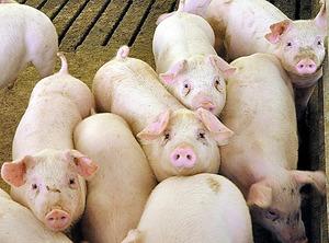 エコフィードを食べて育つ「三州豚」=愛知県田原市