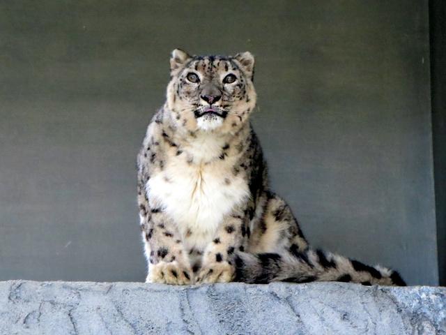 甲府市に受け入れ予定のユキヒョウ「ミュウ」=名古屋市東山動植物園提供