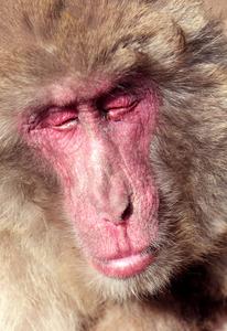 野生のサルにも花粉症? 香川・小豆島のボス猿も涙目