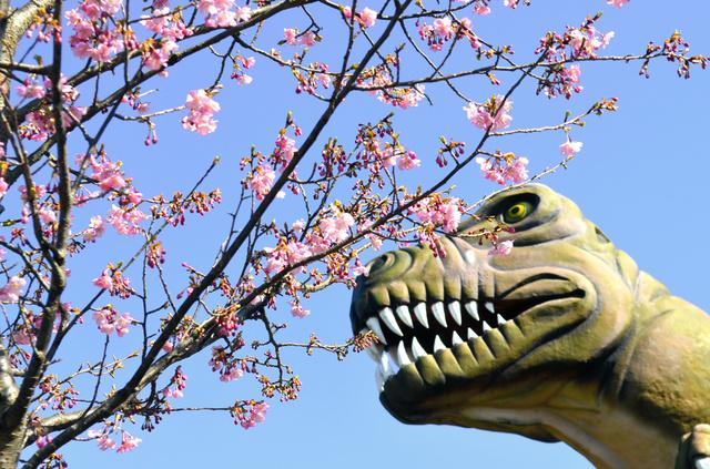 ティラノサウルスの大型模型のそばで河津桜が咲き誇る=下松市