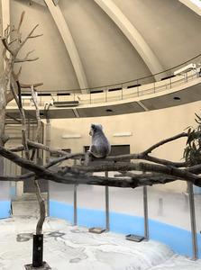 広い展示場でたたずむコアラのタイチ=東京都日野市の多摩動物公園、川見能人撮影