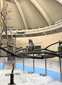 広い展示場でたたずむコアラのタイチ=東京都日野市の多摩動物公園