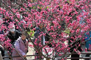 たくさんの人が見頃の梅の花を楽しんだ=神戸市東灘区の岡本梅林公園