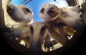 360度動画カメラの周りに集まるミーアキャットたち=竹谷俊之撮影