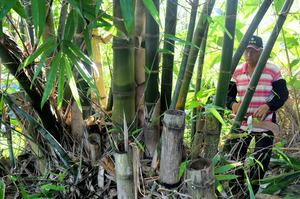台湾の先住民がいかだの材料として使っていた竹(台湾の台東県、3万年前の航海徹底再現プロジェクト提供)