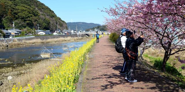 両岸にシロウオ漁の足場が並び、菜の花と見ごろを迎えた河津桜が並ぶ桜づつみ遊歩道=佐々町