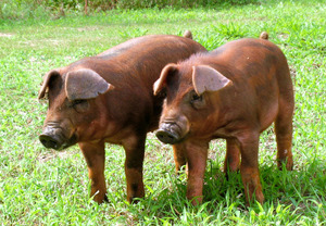 県内産の高級ブランド豚「阿波とん豚」(県提供)