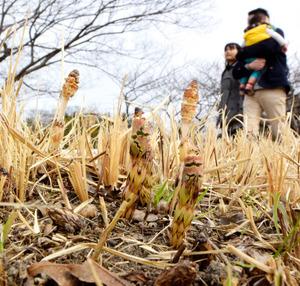 矢田川の河川敷では、ツクシが土の中から顔を出していた=5日午後、名古屋市守山区鳥羽見1丁目、小川智撮影