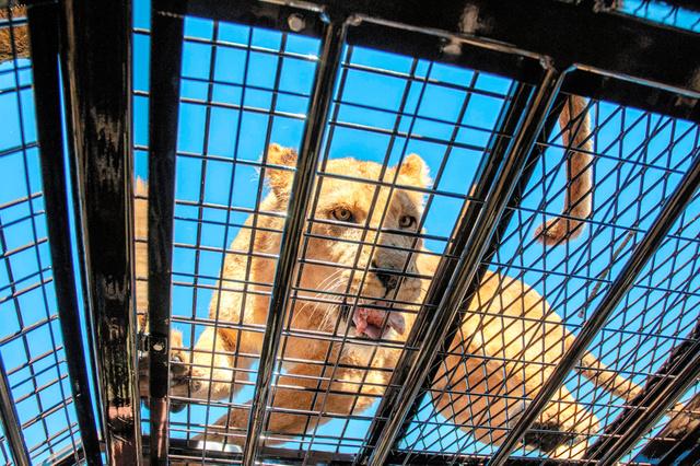 車両の上のライオンを見られるスーパージャングルバス(富士サファリパーク提供)