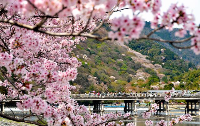 渡月橋越しに桜と新緑のパッチワークが見える=2016年4月、京都・嵐山