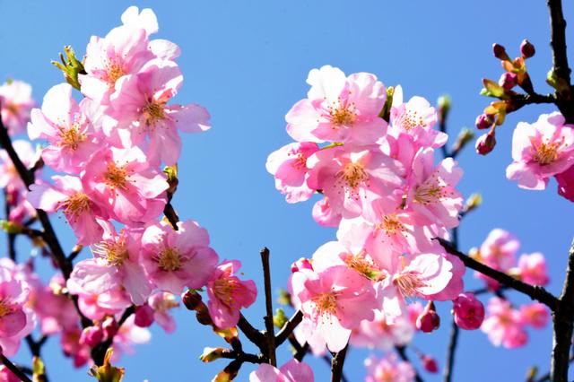 河津桜=県営馬見丘陵公園