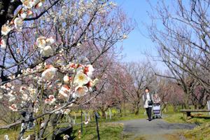 県中央植物園では梅の花が見頃を迎えている=富山市婦中町上轡田