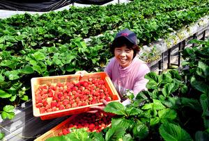収穫したイチゴに笑顔を見せる岡田留里子さん=11日午前11時46分、熊本県阿蘇市、福岡亜純撮影