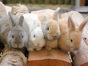 ミニウサギの赤ちゃん=秋吉台サファリランド