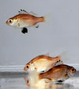 ノドグロの稚魚=富山県滑川市の県水産研究所