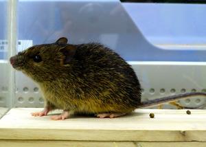 県こども動物自然公園で飼育されているアマミトゲネズミ=同園提供