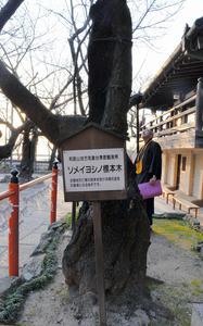 どっしりと根を下ろすソメイヨシノの老木=和歌山市紀三井寺
