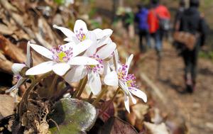 開園した雪国植物園。ユキワリソウが咲き始めた=18日、長岡市宮本町3丁目