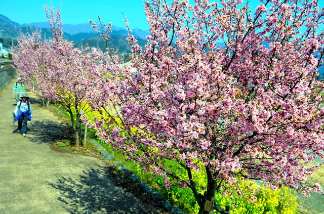 散策する人らがおかめ桜と菜の花の競演を楽しんでいた=秦野市