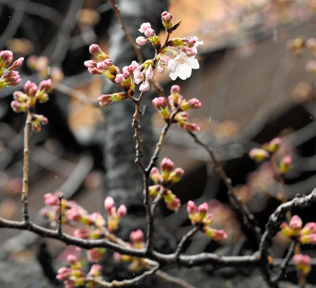 開花したソメイヨシノの標本木=21日午前10時50分、東京都千代田区の靖国神社、北村玲奈撮影