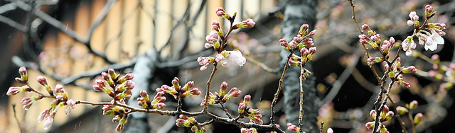 開花したソメイヨシノの標本木=21日午前10時49分、東京都千代田区の靖国神社、北村玲奈撮影