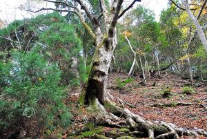朽木のトチノキ巨木林=高島市朽木雲洞谷、県教委提供