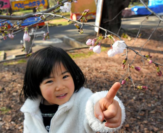 大宮公園に咲いた桜