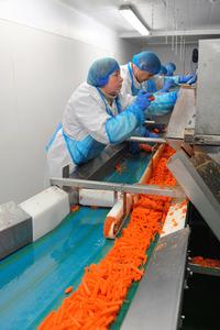 カット野菜製造「アルフレッド・G・ピアース」社のスティック状ニンジンの製造ライン。一列に並んで黙々と働く従業員はリトアニアとポーランド出身だ=2月、英東部キングスリン、渡辺志帆撮影