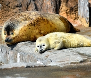 ゴマフアザラシの赤ちゃん、3年ぶり誕生 旭山動物園