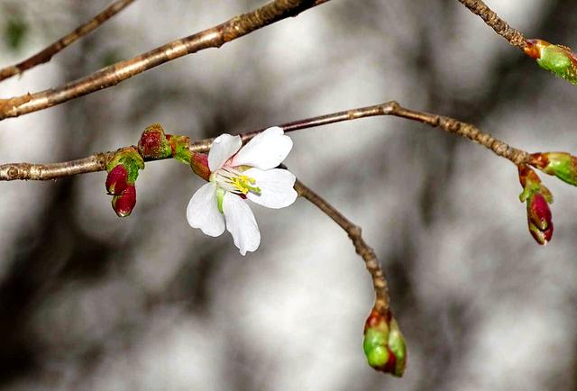 開花したオクチョウジザクラ=鶴岡市大山の高館山のふもとで水野重紀さん撮影