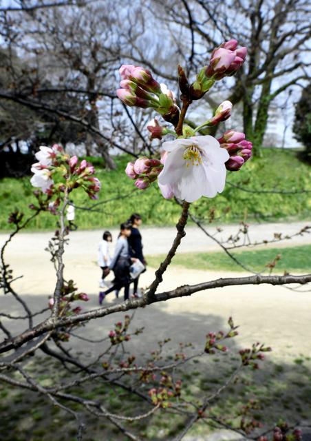 咲き始めた舞鶴公園のサクラ=25日午後1時5分、福岡市中央区の舞鶴公園、福岡亜純撮影