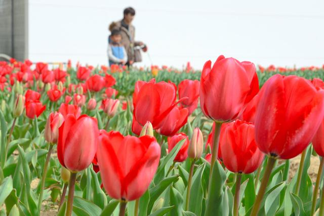 色鮮やかに咲くチューリップ=神戸市東灘区