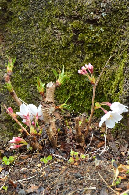 花が開いた「観測標本木」のソメイヨシノ=宇和島市