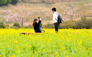 黄色い菜の花が春の訪れを告げている=長崎市四杖町