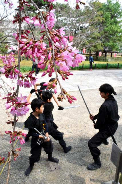 つぼみが開きかけた桜=和歌山市一番丁