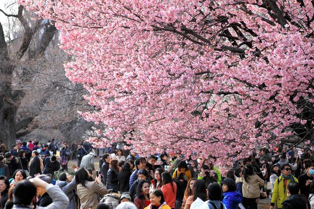 早咲きのサクラ「陽光」の周りには、花見客が集まっていた=25日午後、東京都新宿区、長島一浩撮影