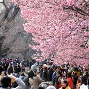 桜、もうすぐ見ごろ 新宿御苑、早くもにぎわう